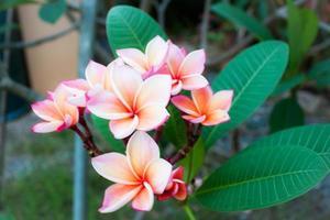close-up de frangipani foto