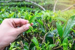 colhendo folhas de chá verde foto