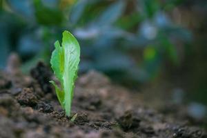 alface brotando em terra cultivada