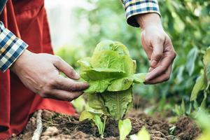 agricultor examinando uma planta de alface em um campo de agricultura orgânica