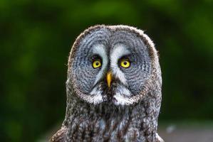 close-up de uma grande coruja cinza
