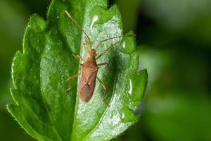 inseto assassino em uma planta, close-up foto