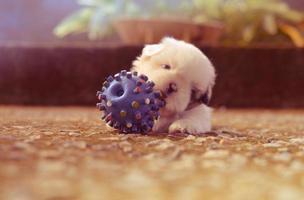 cachorrinho brincando com bola de brinquedo espetado foto