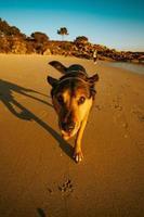 pastor alemão fofo caminhando na praia foto