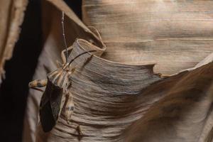 inseto hemiptera, close-up foto