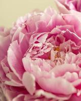 close-up de uma peônia rosa foto