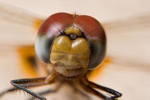libélula em uma folha foto