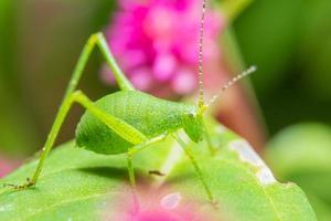 gafanhoto verde em uma folha