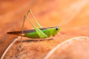 gafanhoto verde em uma folha foto