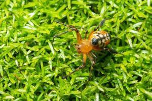 aranha na grama