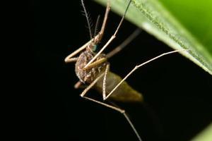 mosquito em uma folha