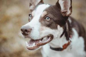 retrato de um cachorro de pêlo curto marrom e branco