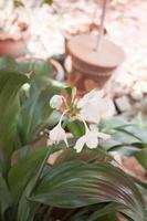 flores brancas hippeastrum foto