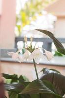 flores brancas de hippeastro com folhas verdes foto