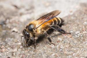 foto close-up de abelha real