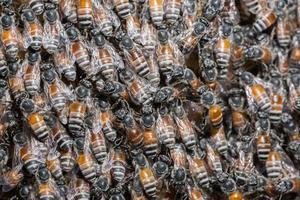 close-up da multidão de abelhas