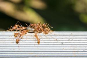 grupo de formigas vermelhas foto