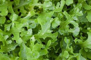 close-up de folhas de alface foto