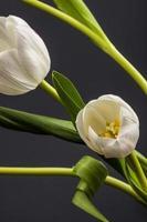 close-up de tulipas brancas em um fundo preto foto