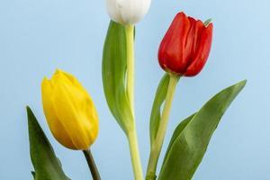 tulipas coloridas em um fundo azul foto