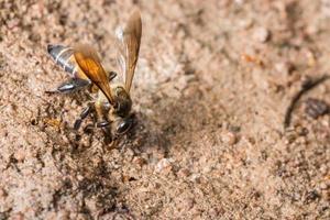 abelha se alimentando no chão