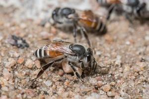 abelhas se alimentando do solo