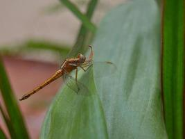 libélula empoleirada em uma folha foto