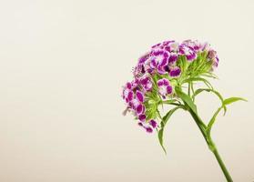 flores turcas de cravo isoladas no fundo branco