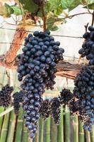 cacho de uvas roxas
