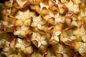 flores de soja, foto em close