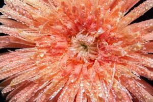 gotas de água nas pétalas da flor