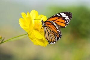 borboleta tigre comum com flor do cosmos foto