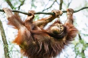orangotango marrom na árvore foto