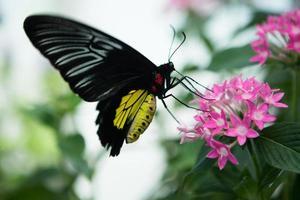 borboleta se alimentando de flores rosa foto