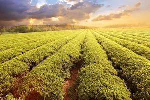 plantações de chá foto