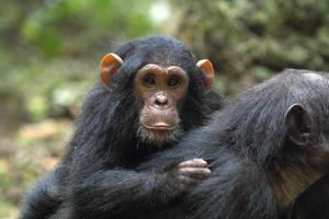 jovem chimpanzé na mãe foto