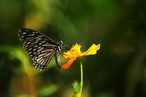 borboleta está sugando néctar do pólen amarelo do cosmos foto