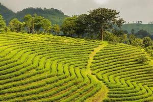 plantação de chá foto