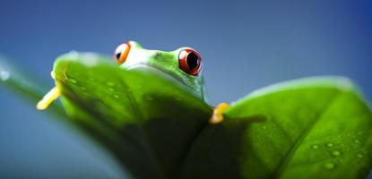 rã verde foto