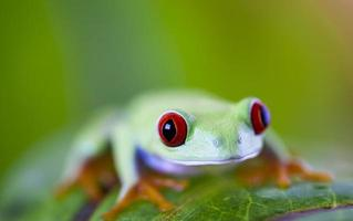 olho vermelho rã na folha foto