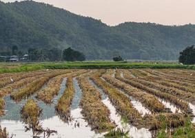 campo de arroz perto das montanhas