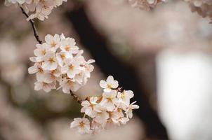 close-up de flores de cerejeira brancas
