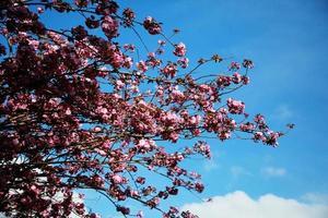flores de cerejeira contra um céu azul