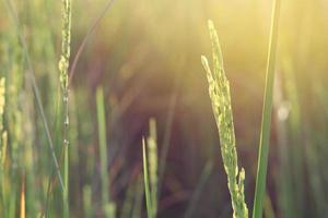 campo de arroz ao sol da manhã