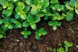 plantas de hortelã no chão