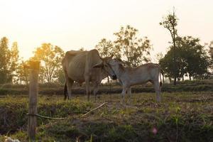 duas vacas em um campo