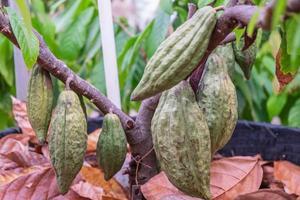 fruto do cacau crescendo em uma árvore foto