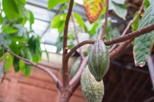 fruto do cacau em uma árvore de cacau foto