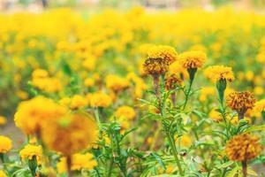flores de calêndula amarela foto