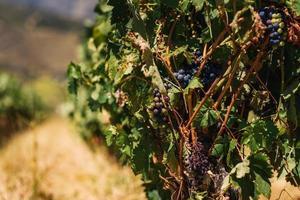 vinhas no vale do douro, portugal foto